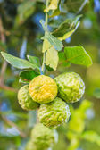 Bergamot on Tree  — Stock Photo