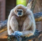 White Cheeked Gibbon or Lar Gibbon — Stock Photo
