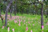 Campi di tulipani di siamese — Foto Stock