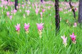 Siamese tulip fields — Stock Photo