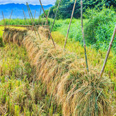 Rice harvested — Stock Photo