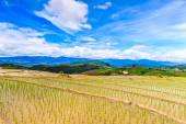 Paddy - rice fields — Stock Photo