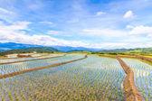 Paddy - rice fields — Stock Photo
