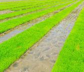 Growing rice — Stock Photo