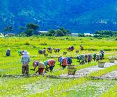 Growing rice on the paddy rice farmland — Stock Photo