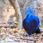 Victoria Crowned bird — Stock Photo #55296987