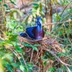 Victoria Crowned bird — Stock Photo #55297011