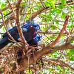 Victoria Crowned bird — Stock Photo #55297557