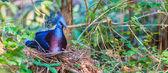 Victoria Crowned bird — Foto Stock