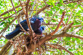 Victoria Crowned bird — Stock Photo