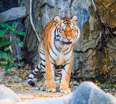 Bengal Tiger — Stock Photo