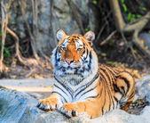 Bengal Tiger — Stok fotoğraf