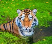 Tigre de Bengala — Fotografia Stock