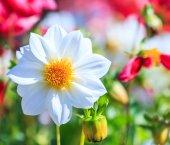 Цветок георгина — Стоковое фото