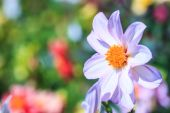 Kwiat dalia — Zdjęcie stockowe