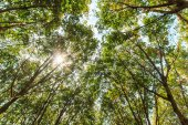 Rubber trees — Stock Photo