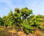 Mango orchards — Stock Photo