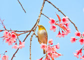 White-eye Bird on Cherry Blossom — Photo