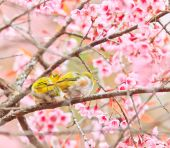 White-eye Bird on Cherry Blossom — 图库照片