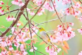 White-eye Bird on Cherry Blossom — Foto Stock