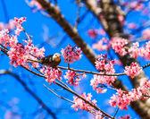 Bird on Cherry Blossom and sakura — Stock Photo