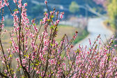 Pink peach blossoms — Stock Photo