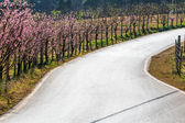 Curved road with flowers sakura — Stock Photo
