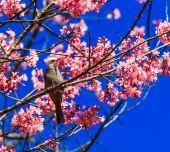 птица на вишневом цвете — Стоковое фото