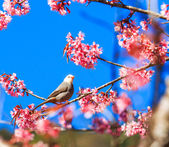 Bird on Cherry Blossom — Stockfoto