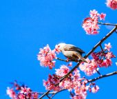 Bird on Cherry Blossom — Photo
