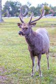 Wild deer in Phu Kradueng National Park — Stockfoto
