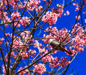 Bird on Cherry Blossom — Foto Stock