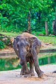 азиатский слон — Стоковое фото