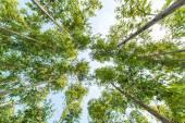 Eucalyptus forest — Stock Photo