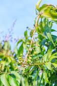 Mango buket — Stok fotoğraf