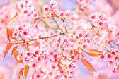 Cherry Blossom and sakura tree — Stock Photo