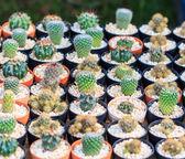 Cactus plant in pot — Stock Photo