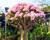 Desert Flower, adenium obesum — Stock Photo
