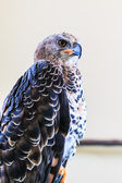 Eagle Crowned — Stockfoto