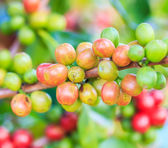 Coffee beans arabica on tree — Стоковое фото