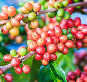 Coffee beans arabica on tree — Foto Stock