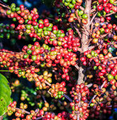 Coffee beans arabica on tree — Stockfoto