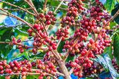 Coffee beans arabica on tree — Stock Photo