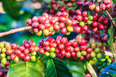 Coffee beans arabica on tree — Stock Photo