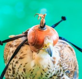A Red-tailed hawk ( — Stock Photo