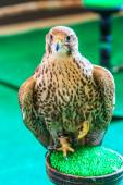 A Red-tailed hawk — Stock Photo