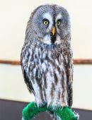 Great Grey Owl — Stock Photo