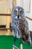 Great Grey Owl (Strix nebulosa) — Stock Photo