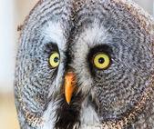 Great Grey Owl (Strix nebulosa) — Stock Photo