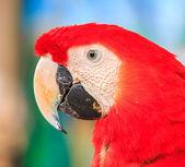 Amerika papağanı papağan — Stok fotoğraf